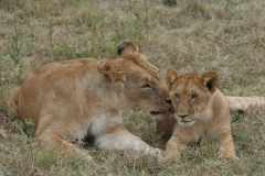 Lions love their children too